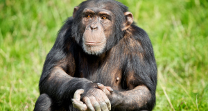 Bossou the chimp