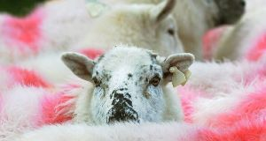 A sheep. (File photo)